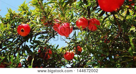 Red Ripe Pomegranates on the Tree. Harvest time. Aged photo. Blue sky through garnet bush branches. Bright fruit background. Rural Sicily Italy.