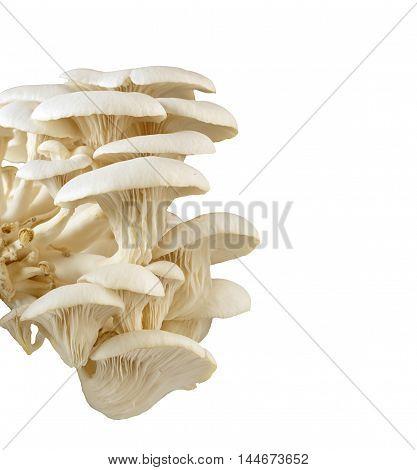 Closeup Of Fresh Oyster Mushrooms