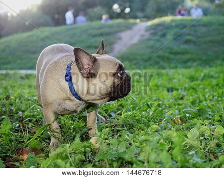 Funny and cute dog stands in the green grass. French Bulldog