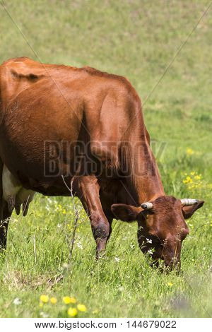 Livestock in the pasture. Photo of cows in the field. Photo for farmers and Nature magazines and websites.