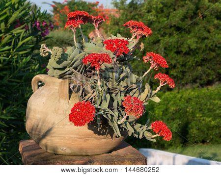 Red Crassula Falcata Flower Airplane Plant or Propeller Plant