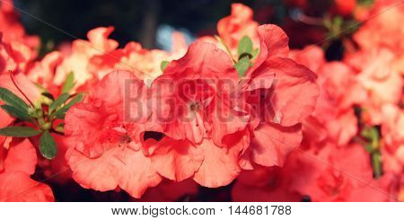 Pink Azalia Flowers. Retro Filter Photo.