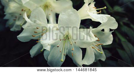 Branch Of White Rhododendron. Flowering Bush.