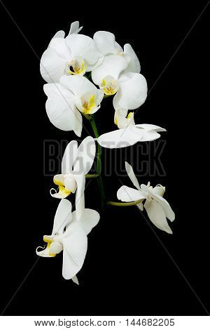 blossoming branch of white orchids on black background close up. vertical photo.