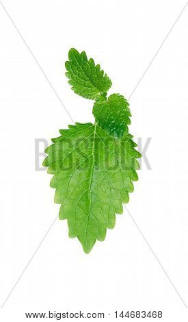 Green mint leaves isolated on white background with clipping path