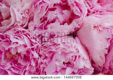Floral wallpaper. Background of blooming peonies closeup