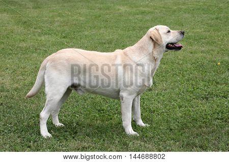 Typical Labrador Retriever in the spring garden
