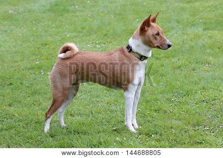 Typical Basenji Dog in the spring garden