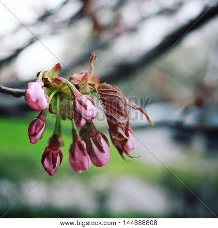 Pink Sakura Bloom. Spring Season. Toned Photo.
