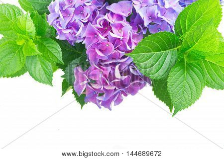blue and violet hortensia flowers with fresh green leaves border isolated on white background