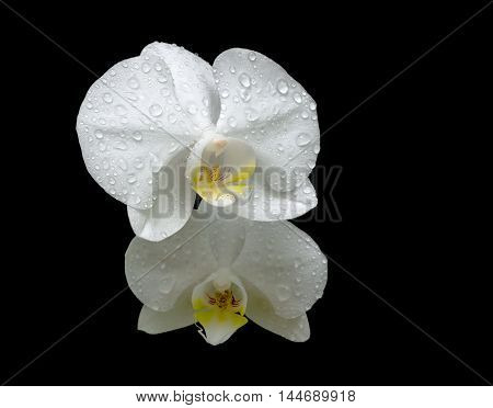 two flowers of white orchids in the dew drops close up on black background. horizontal photo.