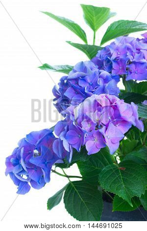 bush of blue and violet hortensia fresh flowers close up isolated on white background