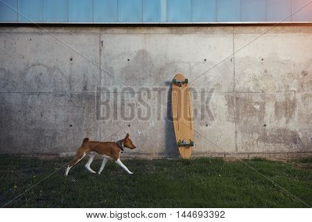 Young brown and white basenji dog runs along a gray concrete wall where a wooden longboard is standing