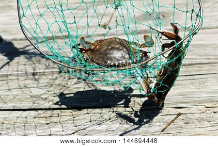 Blue claw crabs caught in a crab net