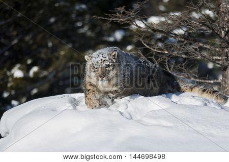 Snow Leopard Is Looking For Prey On Snowy Rock.