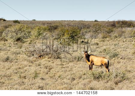 The Red Hartebeest - Beaufort West