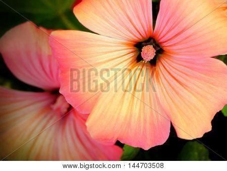 Annual mallow (Lavatera trimestris) beautiful flower background selective focus
