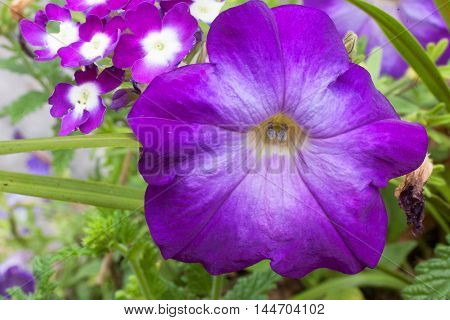 deep purple colored petunia bloom looking up from the garden into the camera macro image