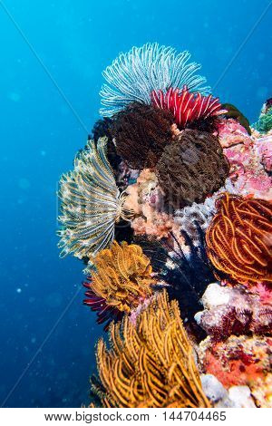Crinoid Underwater While Diving Different Color