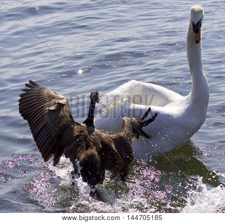 Fantastic photo of a Canada goose attacking a swan on the lake