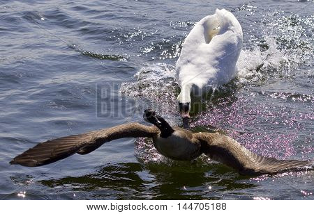 Amazing picture with an angry swan attacking a Canada goose on the lake
