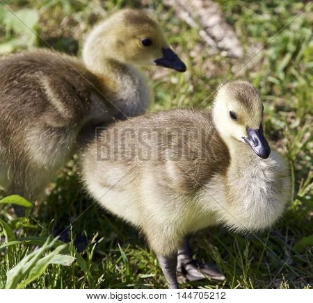 Photo of two chicks of the Canada geese