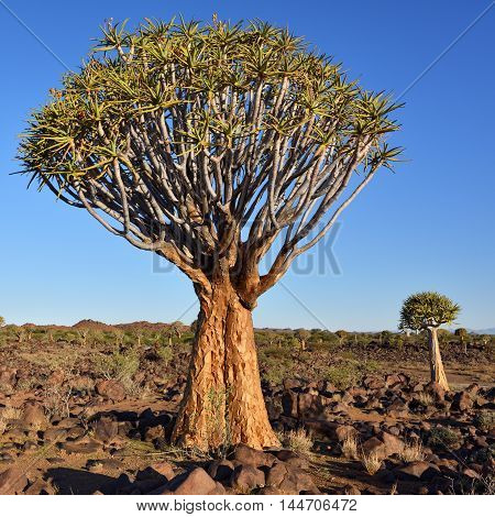 Magical Quiver Tree Forest outside of Keetmanshoop Namibia at sunset. Warm evening light