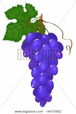 Cluster of dark blue grapes.