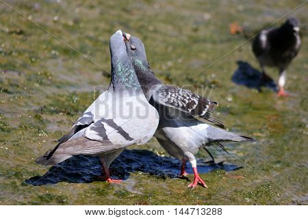 A pair of feral pigeons grappling with their beaks