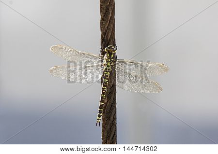 A Green hawker sitting on a cable