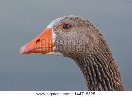 Goose head with orange beak and blue eyes.