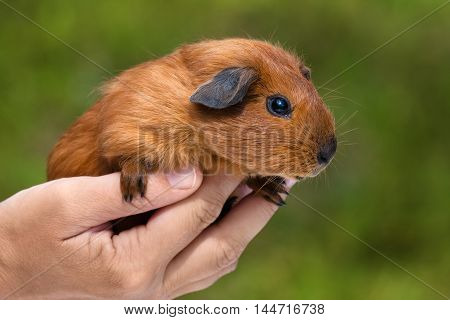 hand holding young shorthair guinea pig on green blurred background