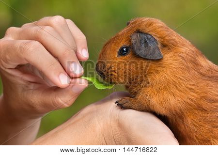 hands holding and feeding young guinea pig on green blurred background