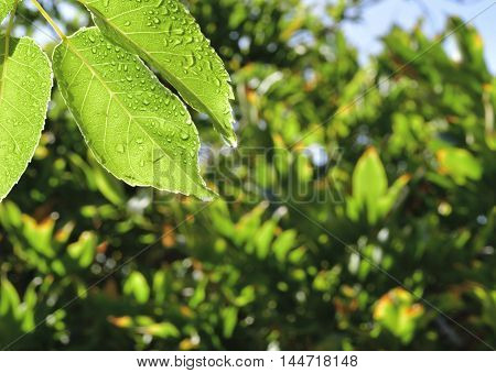 Wet Nectarine leaf with sun star against leafy background