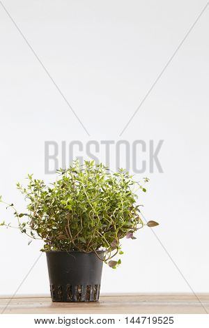 herb thyme pot plant on wooden table