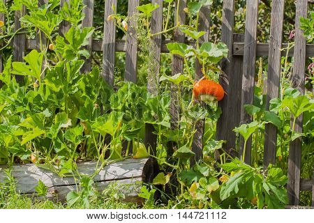 Orange pumpkin, nicely braiding on a rustic wooden fence