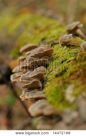 The close-up photo of the shelf fundus (Polyporus sulphureus) growing on the fallen tree