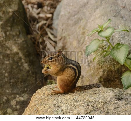A Chipmunk (Tamias striatus) enjoying a meal while sitting on a rock in the sun.  Observed in Andover, New Jersey, USA.