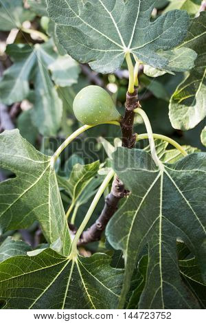 Growing fig fruit on the branch in summer time. Young fig fruit. Vertical. Close.