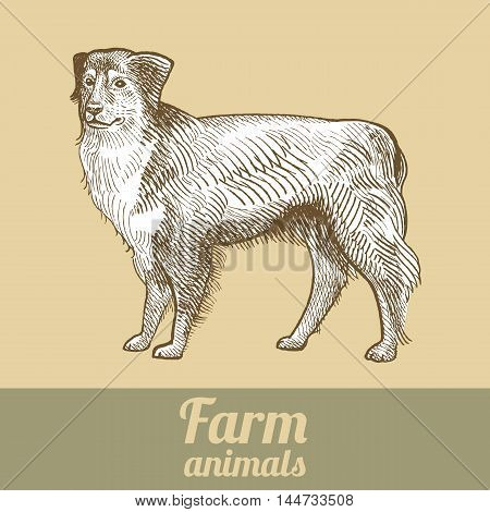 Herding dog. Series vector illustration of farm animals. Style vintage engraving.