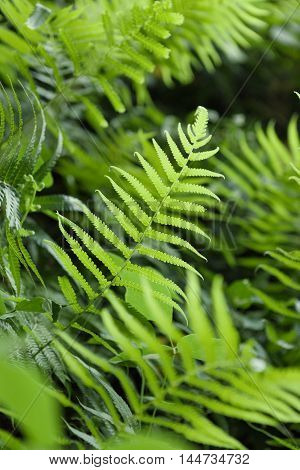 Ourdoors Shot Of Fern Or Pteridium Aquilinum Shrub