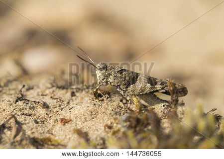 Blue-winged Grasshopper (Oedipoda caerulescens) male resting on sand
