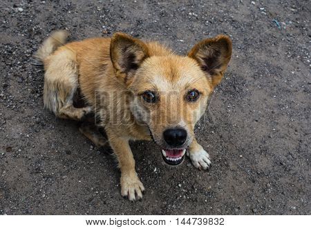 Little cute red-haired mongrel dog with open mouth.