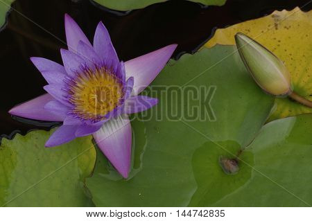 violet Lily in the pond on a bright sunny day
