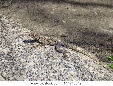 Female Agama Lizard (agama agama) in Serengeti Tanzania