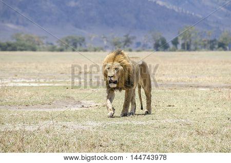 Male lion walking in Ngorongoro in Tanzania
