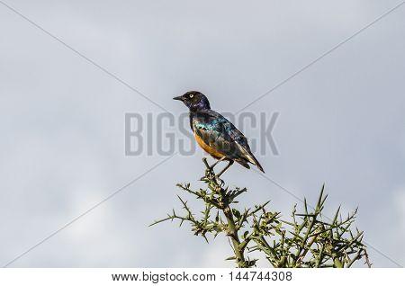Superb Starling (Lamprotornis superbus) in Serengeti National Park Tanzania