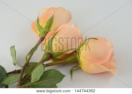Three peach colored roses against white background
