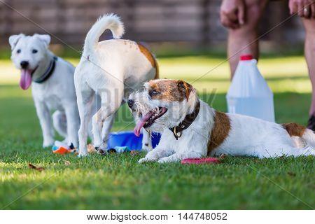 Three Cute Parson Russell Terrier
