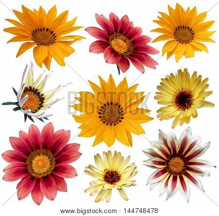 multicolored variegated flowers gazania isolated on white